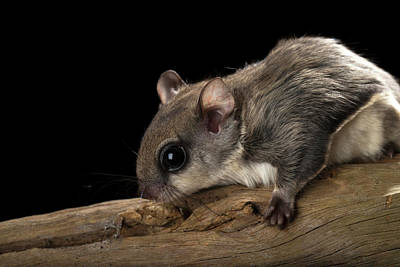 Southern Flying Squirrel, Glaucomys Poster