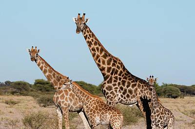 Southern Giraffe (giraffa Camelopardalis Poster