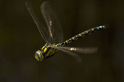 Southern Hawker Dragonfly In Flight Poster