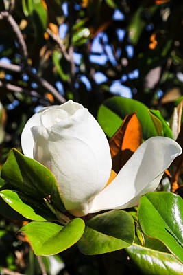 Southern Magnolia Blossom Poster