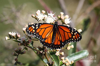 Southern Monarch Butterfly Poster by James Brunker