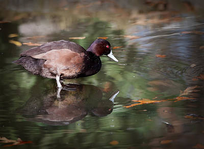 Poster featuring the photograph Southern Pochard by Tyson and Kathy Smith