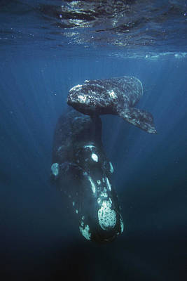 Southern Right Whale And Calf Valdes Poster by Hiroya  Minakuchi