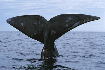 Southern Right Whale Diving Valdes Poster by Hiroya Minakuchi