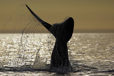 Southern Right Whale Tail Slap Valdes Poster by Hiroya  Minakuchi
