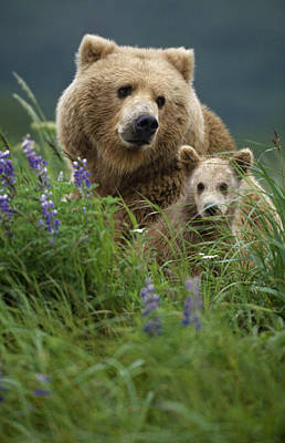 Sow Grizzly & Cubs In Grass Hallo Bay Poster