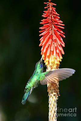 Sparkling Violetear Hummingbird Poster by James Brunker