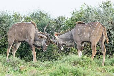 Sparring Kudu Bulls Poster by Peter Chadwick