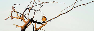Sparrow Hawk Perching On Bare Tree Poster