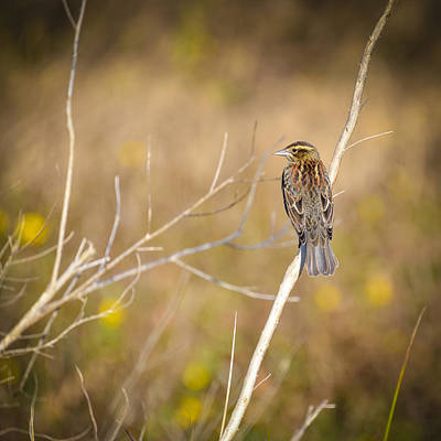 Sparrow In Marshland Poster