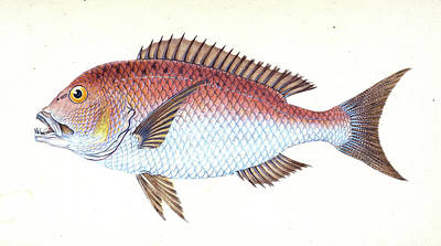 Sparus, Four-toothed, Sparus Dentex, British Fishes Poster by Artokoloro
