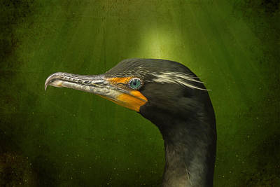 Speckled Cormorant  Poster