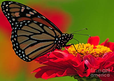Poster featuring the photograph Speckled Monarch by Olivia Hardwicke