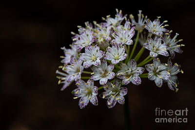 Speckled Wood Lily Poster by Brenda Combs