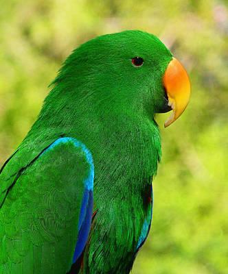Spectacular Eclectus Parrot Poster