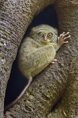 Spectral Tarsier In Tree Indonesia Poster by Ch'ien Lee