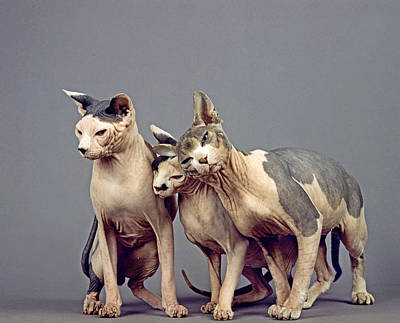 Sphinx Domestic Cat Poster