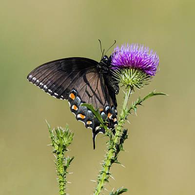 Spicebush Swallowtail 3 Poster