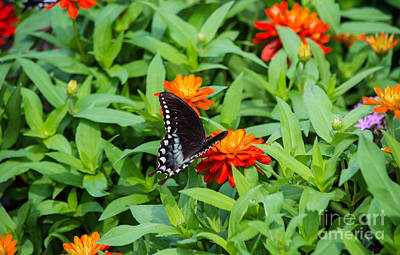 Spicebush Swallowtail Poster by Angela DeFrias