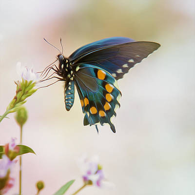 Spicebush Swallowtail Butterfly Poster by Bill Tiepelman