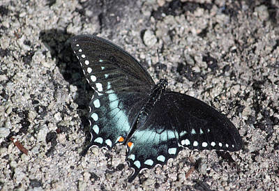 Spicebush Swallowtail IIi Poster by Suzanne Gaff