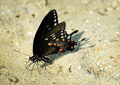 Spicebush Swallowtail Papilio Troilus  Poster by Rebecca Sherman