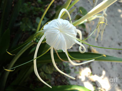 Poster featuring the photograph Spider Lily1 by Megan Dirsa-DuBois