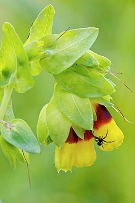Spider On Honeywort (cerinthe Major) Poster