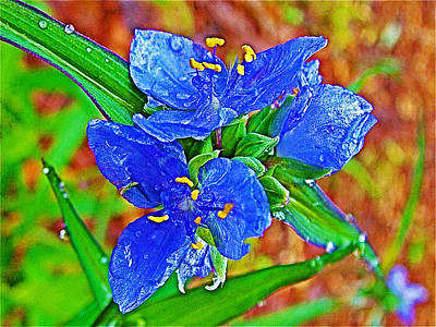 Spiderwort At Mile 122 In Natchez Trace Parkway-mississippi  Poster