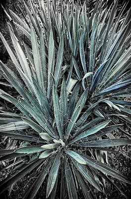 Spiky Blue-green Plant Poster