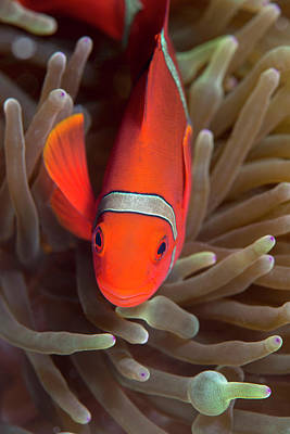 Spinecheek Anemone Fish On Host Anemone Poster by Louise Murray