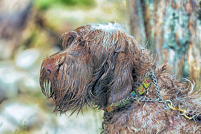 Spinone Italiano Italian Wire Haired Pointer Poster by Constantine Gregory