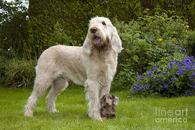 Spinone With Mini Dachshund Poster by John Daniels