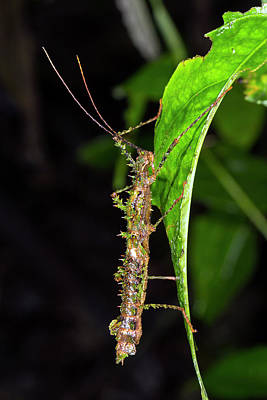 Spiny Moss-mimicking Stick Insect Poster