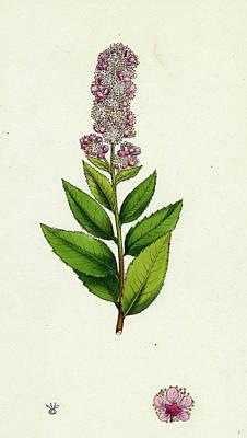 Spiraea Salicifolia Willow-leaved Spiraea Poster