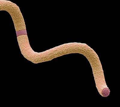 Spirulina Cyanobacteria Poster by Steve Gschmeissner