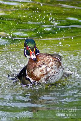 Splashdown - Wood Duck Poster
