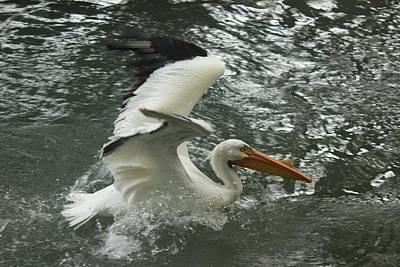 Splashing Pelican Poster by Bonita Hensley