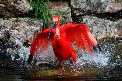Splish Splash - Red Ibis Poster by Christiane Schulze Art And Photography