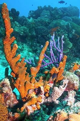 Sponges On A Reef Poster by Georgette Douwma