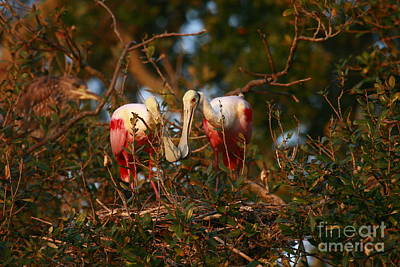 Poster featuring the photograph Spoonbill Love Nest by John F Tsumas