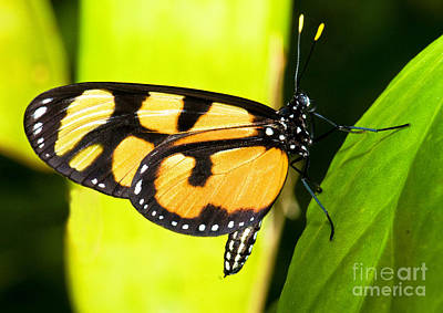 Spotted Amberwing Butterfly Poster by Millard H. Sharp