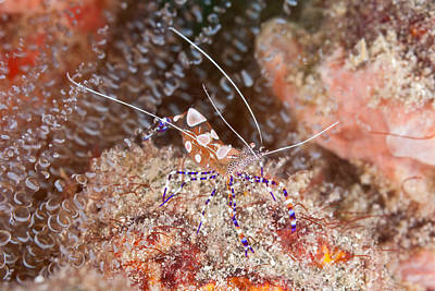 Spotted Cleaner Shrimp Poster by Andrew J. Martinez