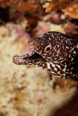 Spotted Moray Eel Off Bonaire, N Poster by James White