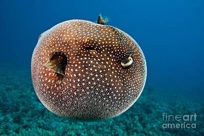 Spotted Pufferfish Poster by David Fleetham