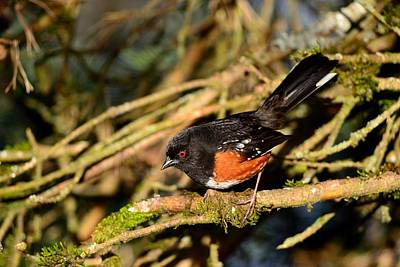Poster featuring the photograph Spotted Towhee by Kathy King