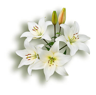 Spray Of White Lilies Poster