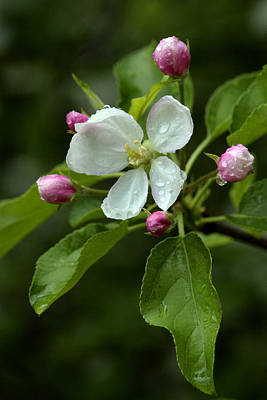 Poster featuring the photograph Spring Apple Blossom Encircled By Pink Buds by Gene Walls