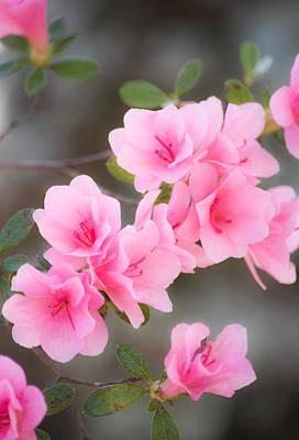 Pink Azalea Poster by Parker Cunningham