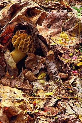 Spring Bounty Morel Mushroom Poster by Thomas R Fletcher